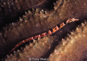 Pipefish on hard coral by Tony Makin 